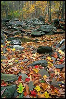 Fallen leaves and rocks in autumn. Shenandoah National Park, Virginia, USA.