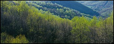 Trees with first spring leaves on hill. Shenandoah National Park (Panoramic color)