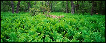 Tender green ferns and pink flowers in spring forest. Shenandoah National Park, Virginia, USA.