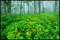 Wildflowers, forest, and fog near Little Hogback. Shenandoah National Park ( color)