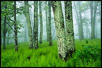 Lichen-covered tree trunks in foggy forest. Shenandoah National Park ( color)