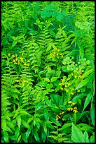 Close-up of wildflowers and ferns. Shenandoah National Park ( color)