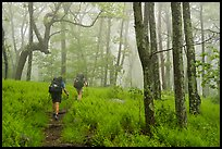 Appalachian Trail backpackers in foggy forest. Shenandoah National Park ( color)