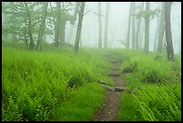 Appalachian Trail in foggy forest at springtime. Shenandoah National Park ( color)
