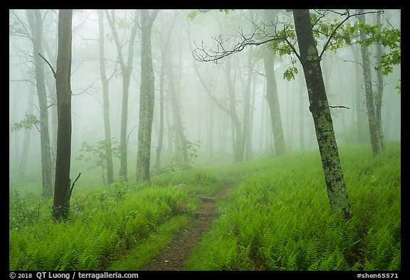 Appalachian Trail in lush forest with fog. Shenandoah National Park (color)