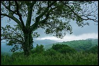 Tree and approaching storm in the spring. Shenandoah National Park ( color)
