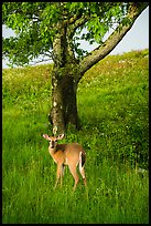 Deer and tree near Big Meadows. Shenandoah National Park ( color)