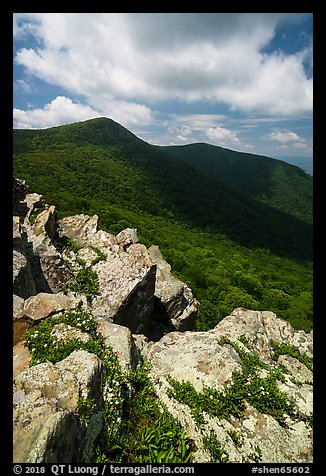 Wildflowers on Crescent Rock and Hawksbill Mountain. Shenandoah National Park (color)
