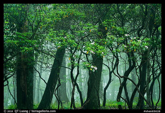 Mountain Laurel, forest and fog, Lewis Mountain Campground. Shenandoah National Park (color)