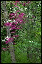 Redbud and Dogwood in bloom near the North Entrance, evening. Shenandoah National Park, Virginia, USA. (color)