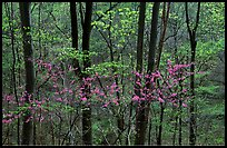 Redbud and Dogwood in bloom near the Northern Entrance, evening. Shenandoah National Park, Virginia, USA.