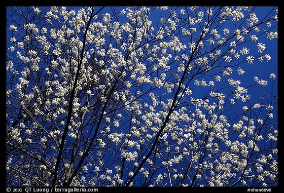 Tree branches covered with blossoms. Shenandoah National Park (color)