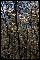 Twisted trunks and dogwood trees in forest. Shenandoah National Park, Virginia, USA. (color)