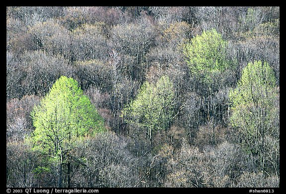 Trees with early foliage amongst bare trees on a hillside, morning. Shenandoah National Park, Virginia, USA.