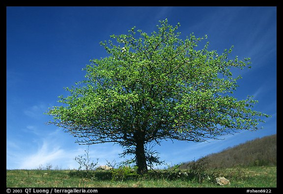 Tree with spring foliage standing against sky. Shenandoah National Park (color)