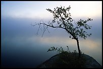 Tree in morning fog, Kabetogama lake near Woodenfrog. Voyageurs National Park, Minnesota, USA.