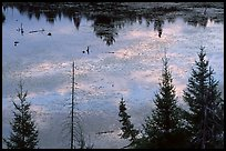 Beaver pond reflections and conifers. Voyageurs National Park ( color)