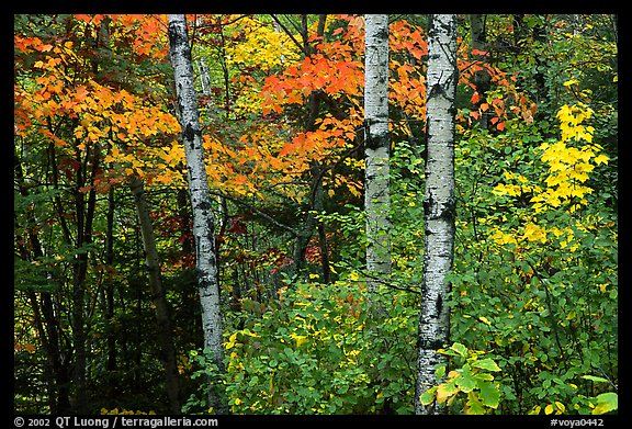 Trees in fall foliage. Voyageurs National Park, Minnesota, USA.