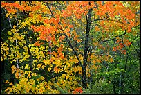 Trees in autumn foliage. Voyageurs National Park ( color)