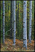 Birch tree trunks in autumn. Voyageurs National Park, Minnesota, USA.