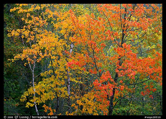 Yellow and orange leaves on trees. Voyageurs National Park, Minnesota, USA.
