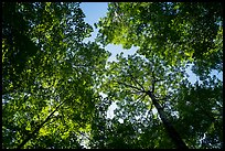 Looking up summer trees. Voyageurs National Park ( color)