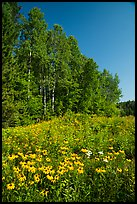 Summer wildflowers and trees, Ash River. Voyageurs National Park ( color)