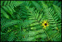 Close-up of sunflower and ferns. Voyageurs National Park ( color)