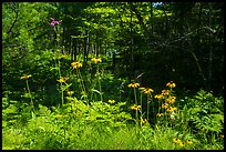 Sunflowers in forest. Voyageurs National Park ( color)