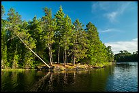 Lakeshore and falling tree, Grassy Bay. Voyageurs National Park ( color)
