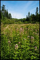 Meadow with summer wildflowers. Voyageurs National Park ( color)