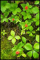 Close-up of red berries and leaves. Voyageurs National Park ( color)