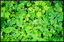 Close up of green undergrowth leaves. Voyageurs National Park ( color)