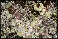 Close-up of lichens. Voyageurs National Park ( color)