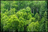 Birch grove on hillside. Voyageurs National Park ( color)