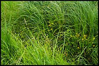 Tall grasses and wildflowers. Voyageurs National Park ( color)