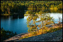 Two pine trees above Anderson Bay. Voyageurs National Park ( color)
