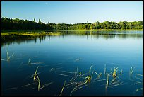 Water grasses and reflections, Northwest Bay, Crane Lake. Voyageurs National Park ( color)