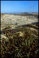 Flowers and caliche stumps, early morning, San Miguel Island. Channel Islands National Park, California, USA. (color)