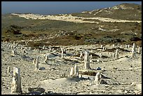 Ghost forest formed by caliche sand castings of plant roots and trunks, San Miguel Island. Channel Islands National Park, California, USA. (color)
