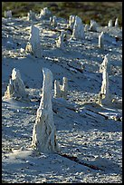 Mineral sand castings of petrified trees, San Miguel Island. Channel Islands National Park, California, USA. (color)