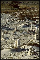 Ghost forest of caliche sand castings , San Miguel Island. Channel Islands National Park ( color)