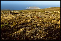 Grasses and Prince Island, San Miguel Island. Channel Islands National Park, California, USA.