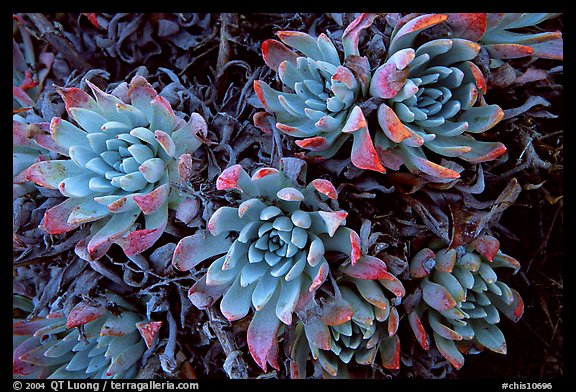 Live Forever (Dudleya) plants, San Miguel Island. Channel Islands National Park, California, USA.