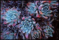 Pictures of Succulents
