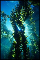 Kelp bed with sunrays,  Annacapa Marine reserve. Channel Islands National Park ( color)