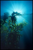 Underwater view of kelp plants with sun rays, Annacapa. Channel Islands National Park ( color)