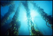 Underwater kelp bed, Annacapa Island State Marine reserve. Channel Islands National Park ( color)