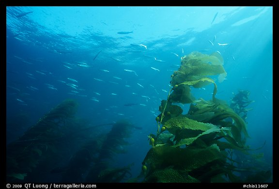 Kelp fronds and fish, Annacapa Island State Marine reserve. Channel Islands National Park, California, USA.