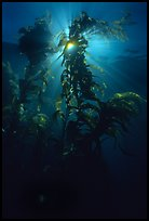 Underwater view of kelp fronds with sun beams. Channel Islands National Park ( color)